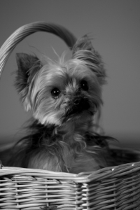 Sugar (Dog)'s Headshot from Wizard of Oz